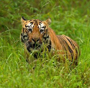 Tiger Safari - Tadoba National Park